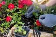 10 лучших весенних удобрений для роз