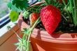 6 неожиданных растений, которые можно вырастить на подоконнике этим летом (как насчет клубники?)