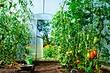 Как подвязать помидоры в теплице: 4 проверенных способа