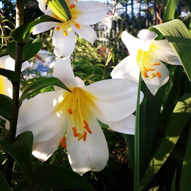 Кроме роз: 5 самых ароматных растений для сада