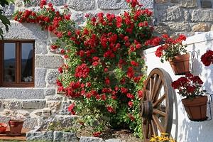 5 вьющихся растений для фасада дома (делаем красиво!)