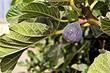 От маслят до инжира: 5 нестандартных съедобных культур для вашего сада