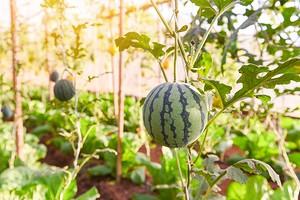 Попробуйте сами: инструкция по выращиванию арбузов в теплице