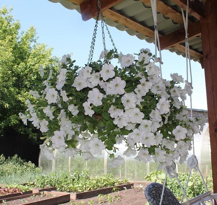 Выращивание петунии: как вырастить из семян, когда высаживать и как ухаживать