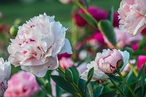 Особенности посадки пионов: как добиться пышного цветения?