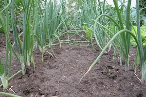 Что посадить после лука: 7 лучших вариантов для хорошего урожая