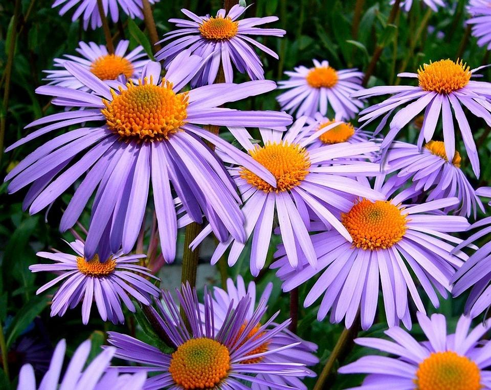 9 растений, которые будут цвести и украшать ваш сад осенью (вы еще успеете полюбоваться клумбой) | ivd.ru
