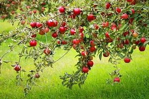 Правильная посадка яблони: подробная инструкция от выбора саженца до ухода за деревом