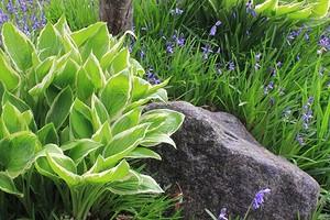 Все о цветке хоста: выращивание в саду и правила ухода
