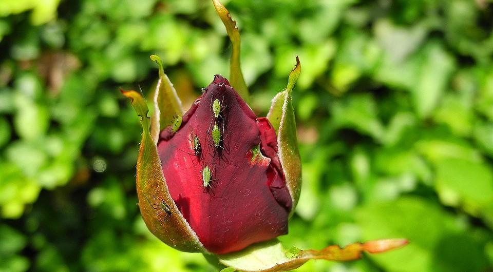 Как избавиться от тли на розах: 6 действенных способов