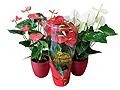 Розы из бисера схемы: комнатные цветы фото и названия уход.