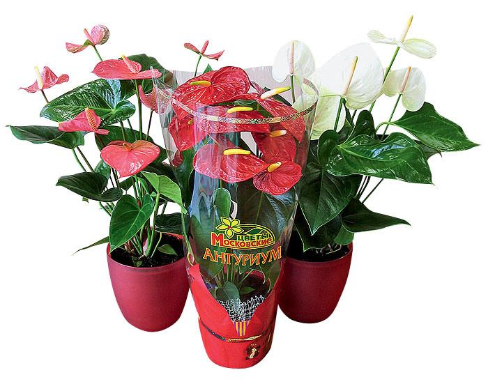 Сердце вашего дома: растение антуриум
