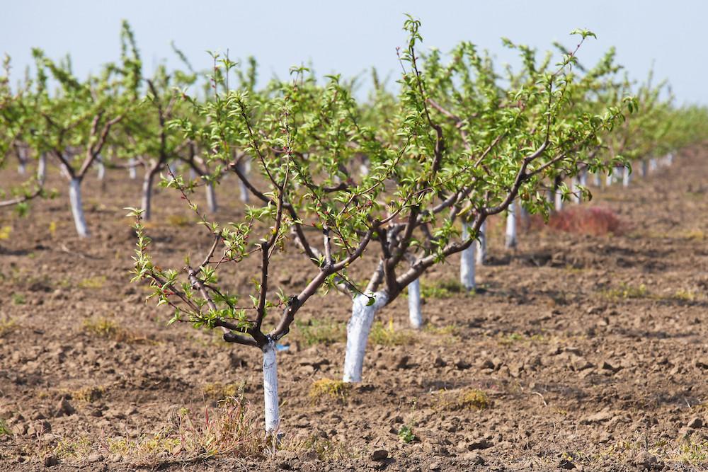 Побелка деревьев осенью: как ускорить процесс