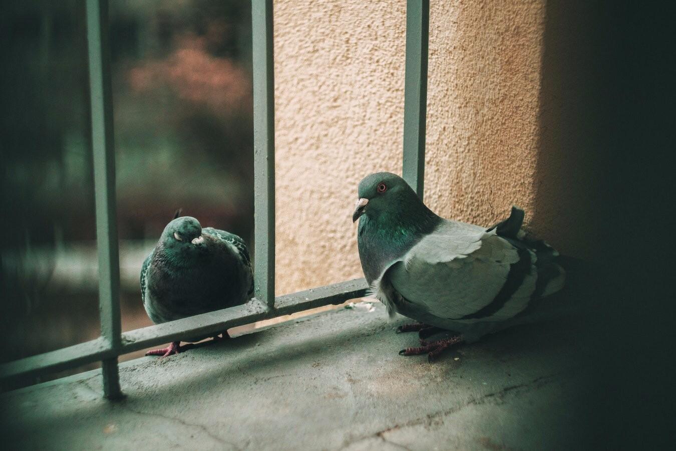 Как отвадить голубей от балкона: 15 эффективных способов
